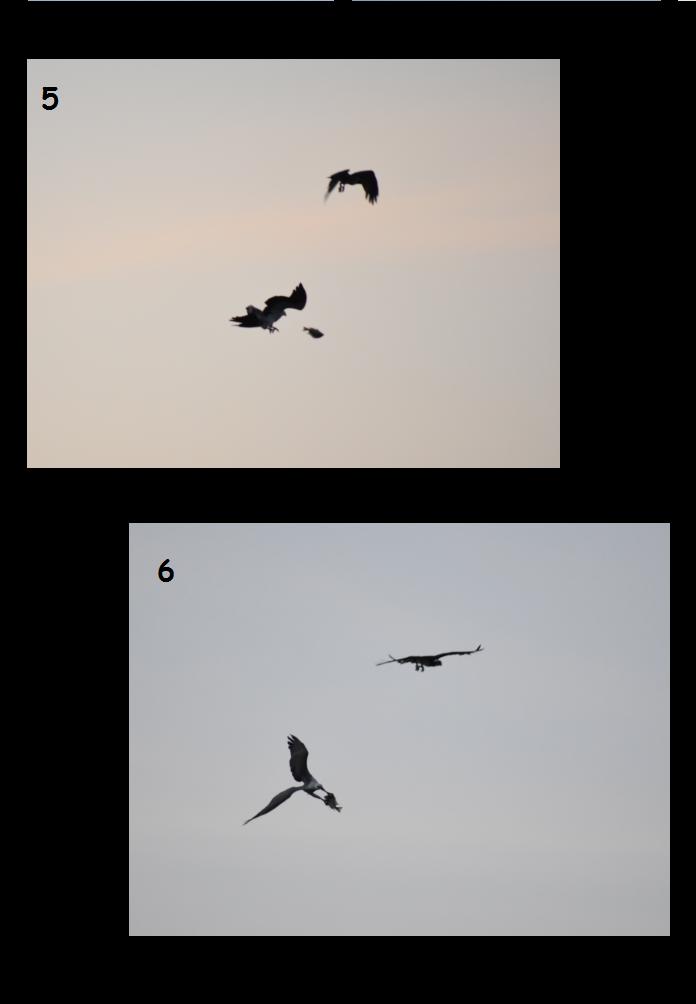 Osprey-Eagle 2