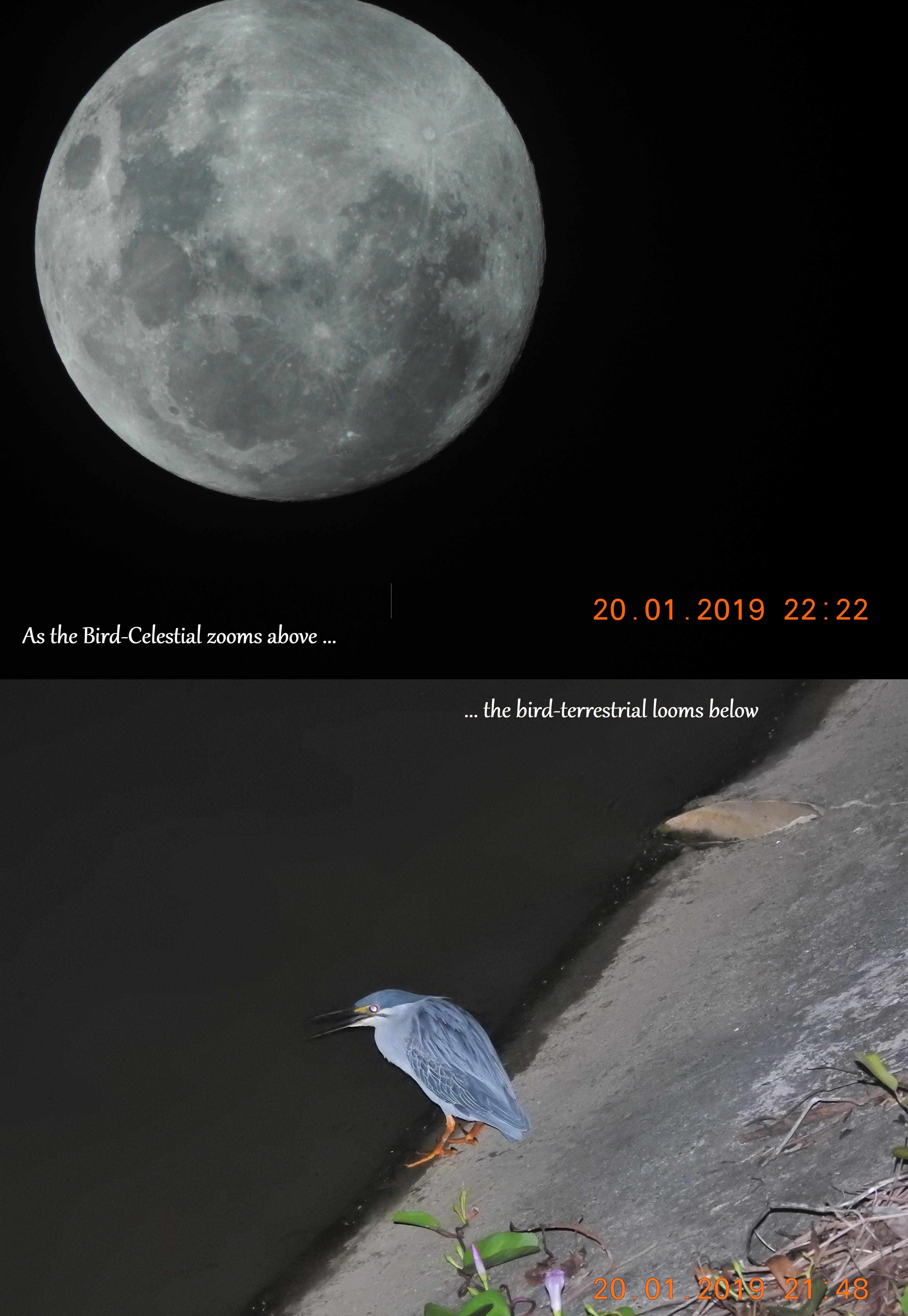 birds celestial n terrestrial